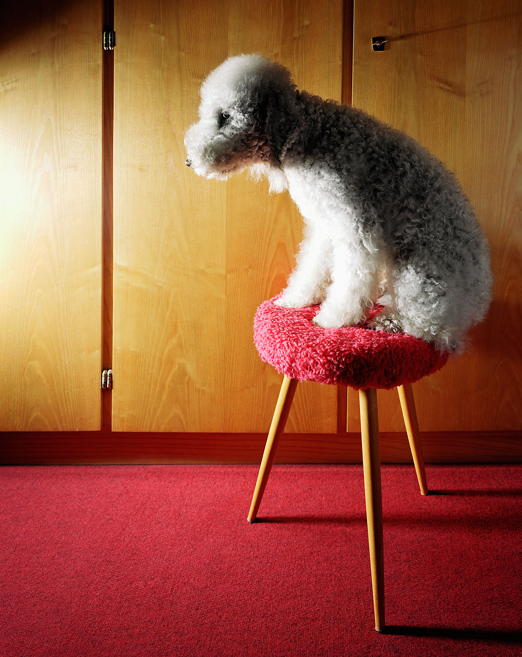 Sabine-Scheer-animal-photography-bedlington-terrier-chair
