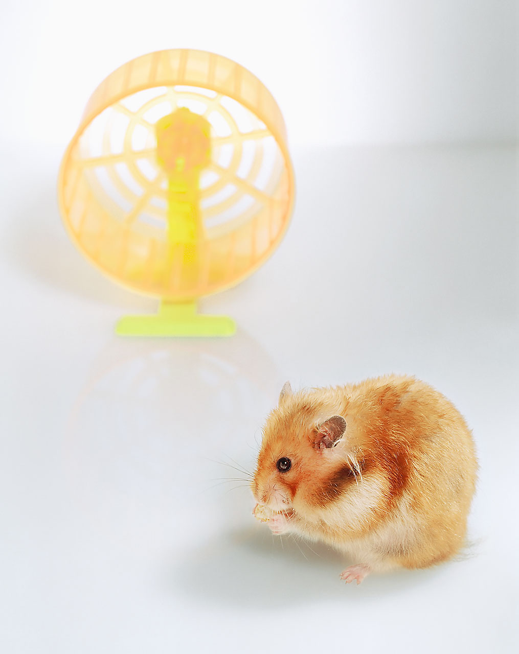 Sabine-Scheer-photography-goldhamster-hamsterrad-wheel