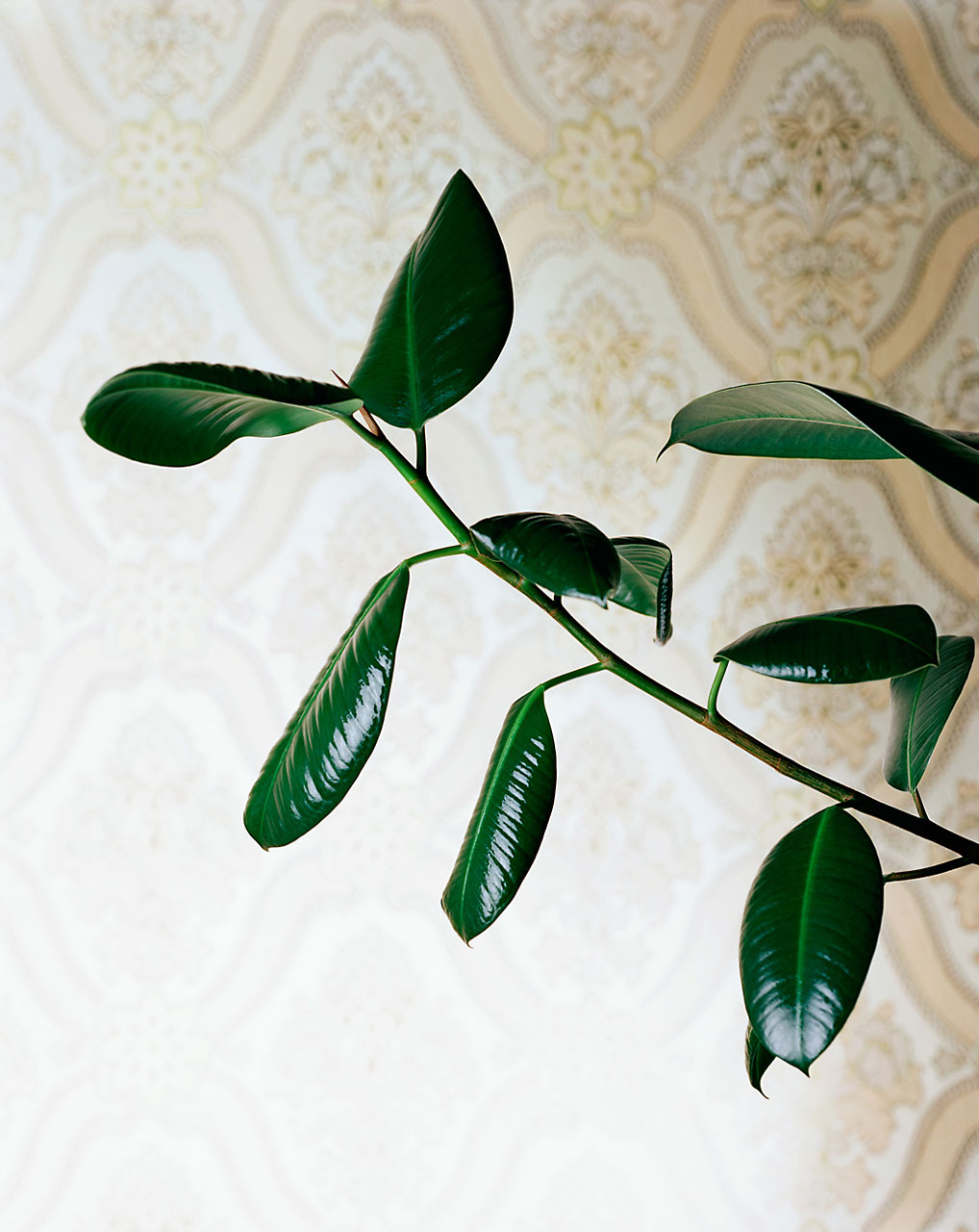 Sabine-Scheer-still-life-photography-gummibaum-rubber-plant-tree